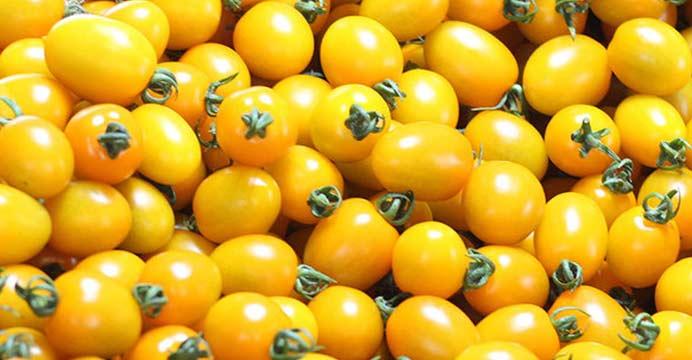 노란색 황금 대추방울토마토 2kg(1~2번)